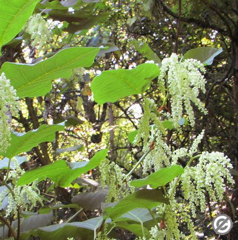 image of Giant Knotweed (commons copyright)