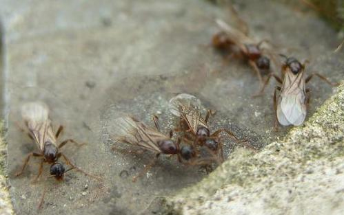 picture of winged ants