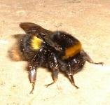 picture of a Bumble Bee click for more information