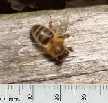 picture of HONEYBEE click for more information