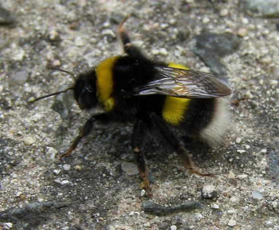 image of a Bumblebee