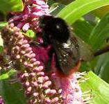 picture of RED-TAILED BUMBLEBEE click for more information