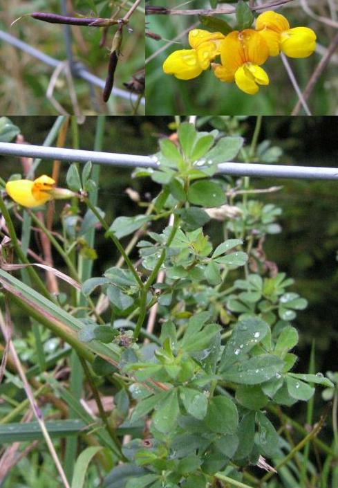 image of birdsfoot trefoil