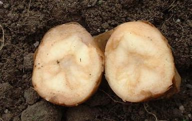 picture of soft rot in a potato tuber