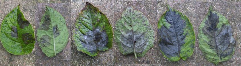 picture of potato blight on leaves