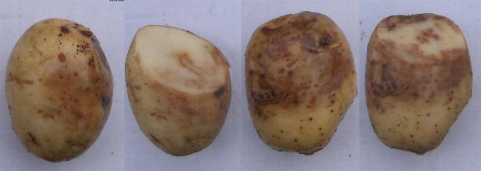 picture of potato tubers infected with Late Blight