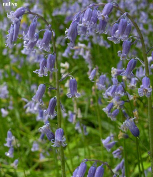 image of Native Bluebell