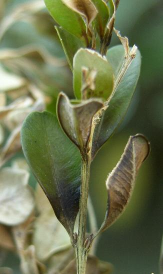 image of boxwood blight affected leaves