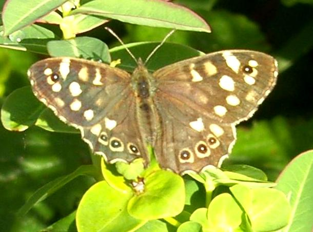 image of Speckled Wood Butterfly