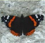 picture of RED ADMIRAL BUTTERFLY click for more information