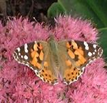 picture of PAINTED LADY BUTTERFLY click for more information