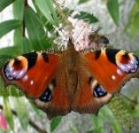 picture of PEACOCK BUTTERFLY click for more information
