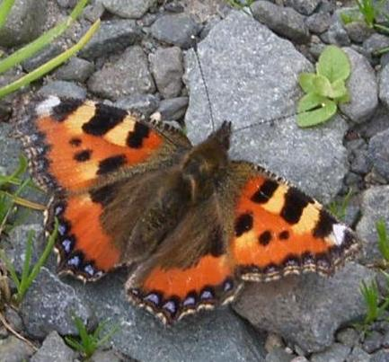 picture of small tortoiseshell butterfly