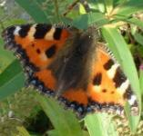 picture of SMALL TORTOISESHELL BUTTERFLY click for more information
