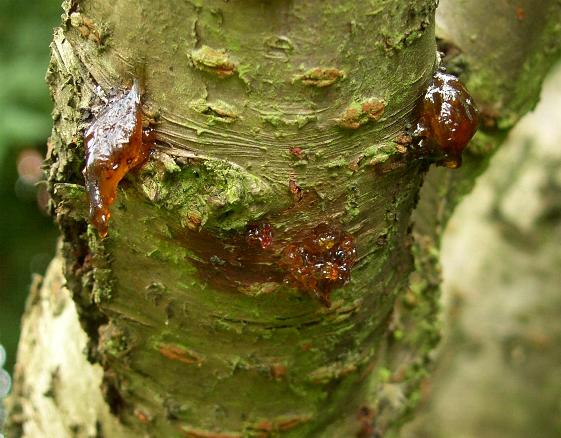 image of bacterial canker on cherry tree