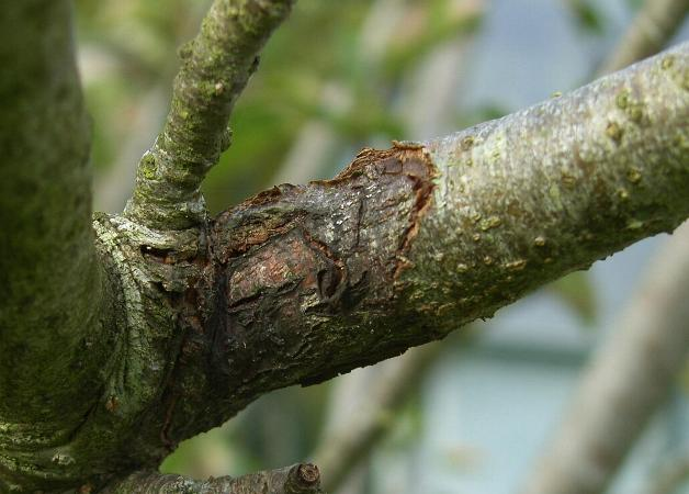 image of fungal canker on an apple tree