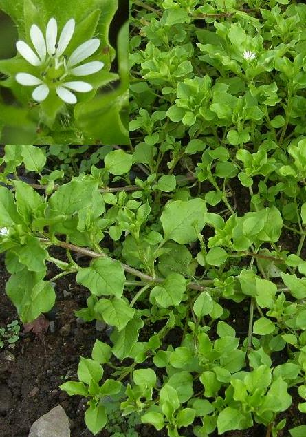 image of Chickweed, Stellaria media