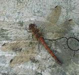 picture of DARTER DRAGONFLY click for more information