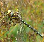 picture of a COMMON HAWKER DRAGONFLY click for more information
