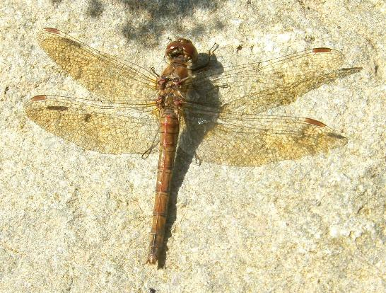 picture of a female Common Darter Dragonfly
