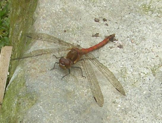 picture of a male Common Darter Dragonfly