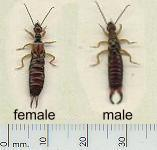 picture of EARWIG click for more information