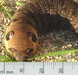 picture of ELEPHANT HAWK-MOTH CATERPILLAR click for more information