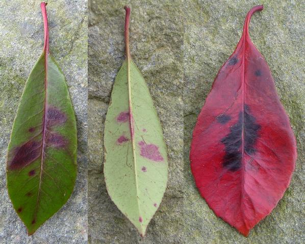 picture of photinia leaves with entomosporium leaf spot