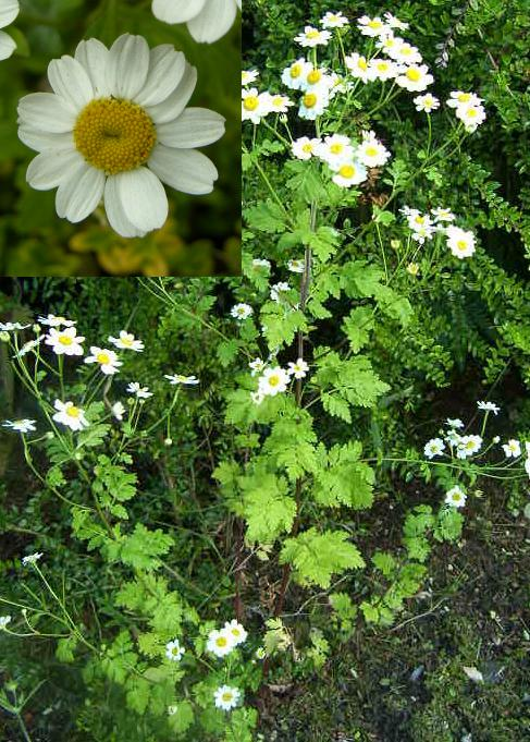 a picture of Feverfew plant and flowers