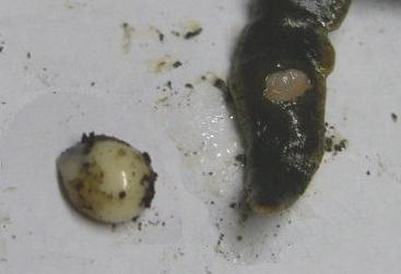 picture of flatworm as egg is laid
