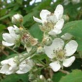 LINK TO A MONOGRAPH ON BRAMBLES