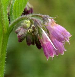 russian comfrey flower