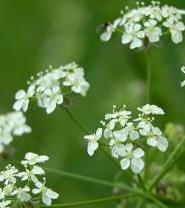 LINK TO A MONOGRAPH ON COW PARSLEY