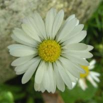 LINK TO A MONOGRAPH ON THE DAISY
