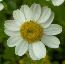 LINK TO A MONOGRAPH ON FEVERFEW