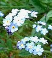LINK TO A MONOGRAPH ON TRUE FORGET-ME-NOT