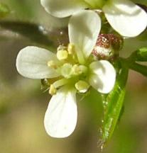 image of Hairy Bittercress flower