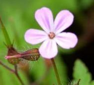 LINK TO A MONOGRAPH ON HERB ROBERT