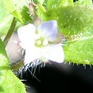 LINK TO A MONOGRAPH ON IVY-LEAVED SPEEDWELL