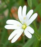 LINK TO A MONOGRAPH ON GREATER STITCHWORT