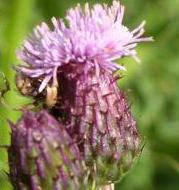 LINK TO A MONOGRAPH ON CREEPING THISTLE