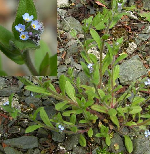 picture of Field Forget-me-not