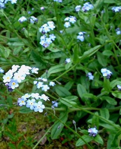 picture of True Forget-me-not