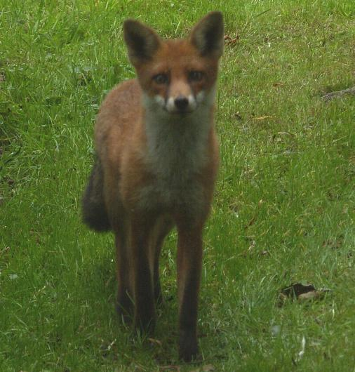 picture of a RED FOX click for more information