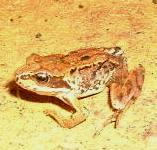 picture of a COMMON FROG click for more information