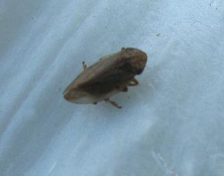 image of adult Froghopper