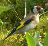 picture of a GOLDFINCH click for more information