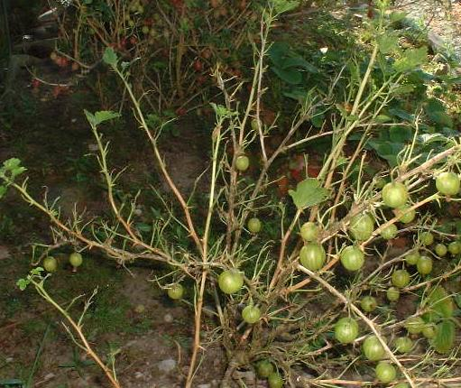 picture of defoliated gooseberry bush