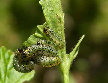 picture of gooseberry sawfly larvae