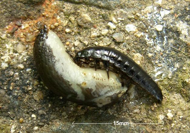 picture of a ground beetle larva